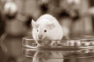 Hvid mus i petriskål - LD50 forsøg
